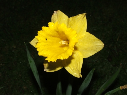 Daffodil at Night, Victoria Park, Leicester